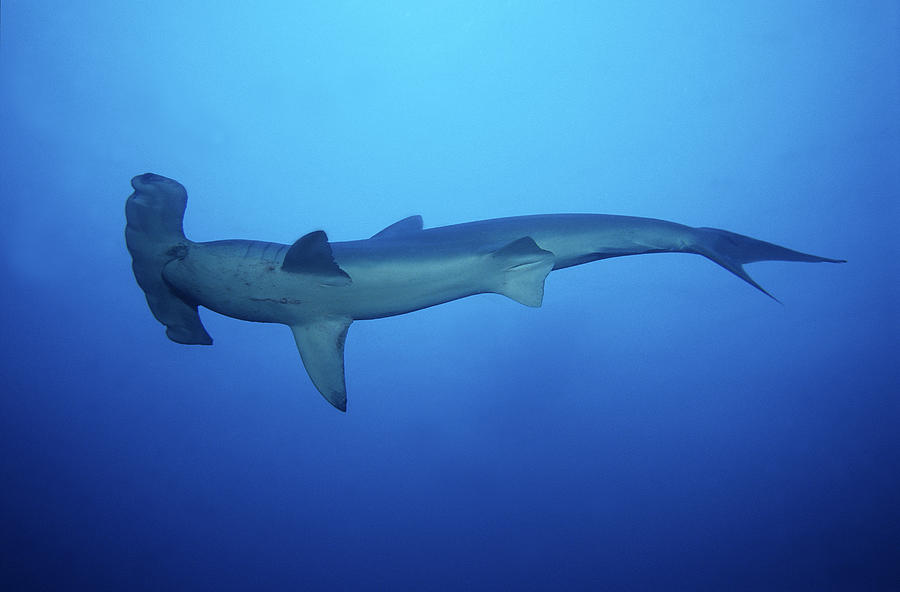 Scalloped Hammerhead Shark,sphyrna Photograph by Gerard Soury