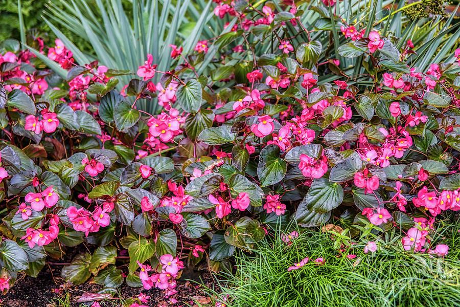 Scarlet Begonias by James Foshee