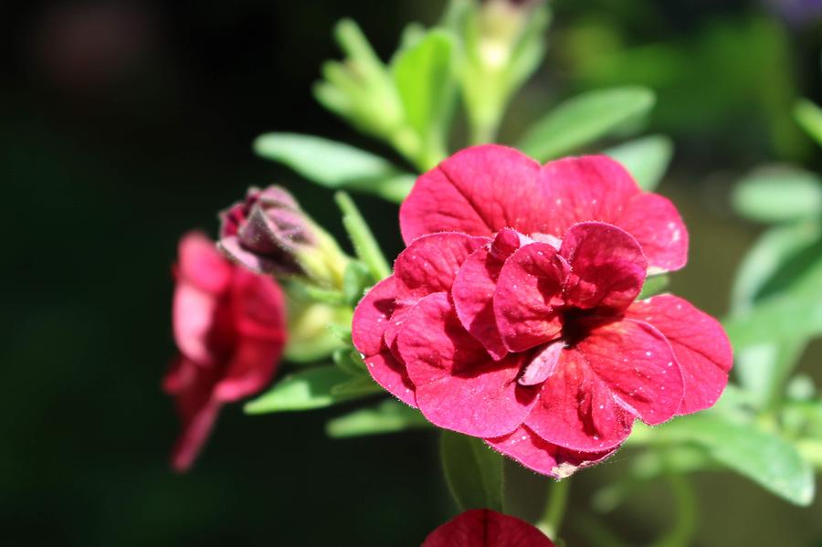 Scarlet Geranium in Cape May by Christopher Lotito