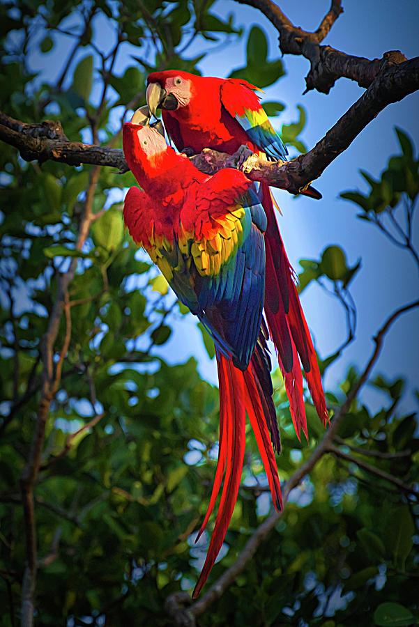 Scarlet Macaw Pair Mixed Media By Urs Hauenstein
