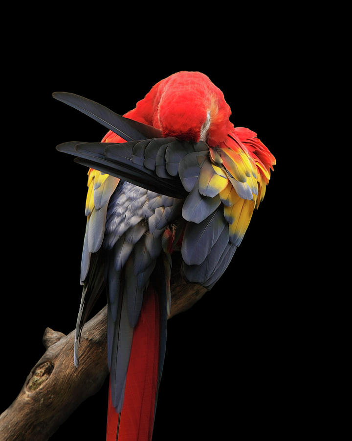 Scarlet Macaw Photograph by Paul Taylor