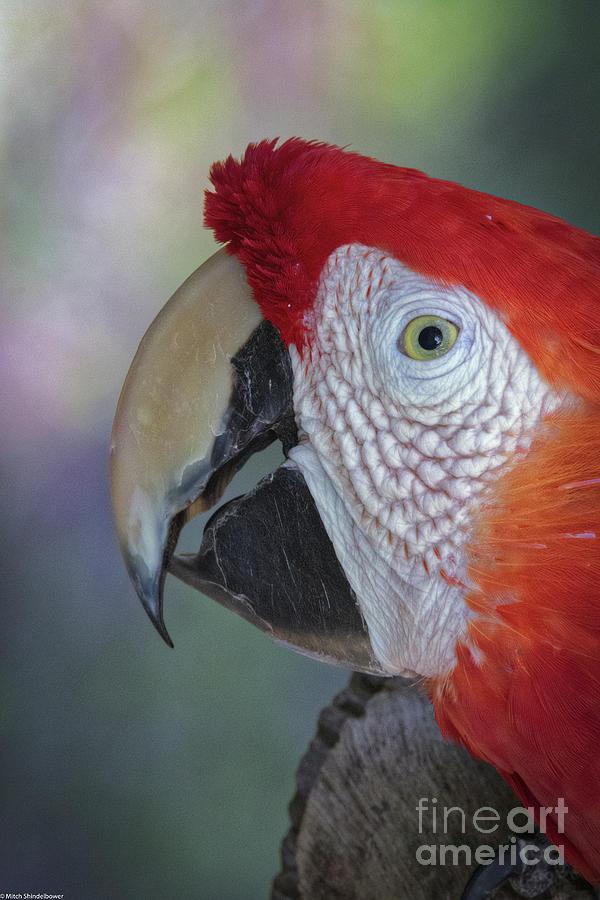 Scarlet Macaw Portrait 3 by Mitch Shindelbower