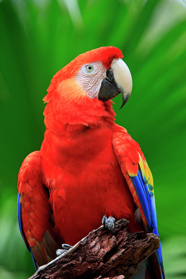 Bay Islands Photograph - Scarlet Macaw by Tier Und Naturfotografie J Und C Sohns