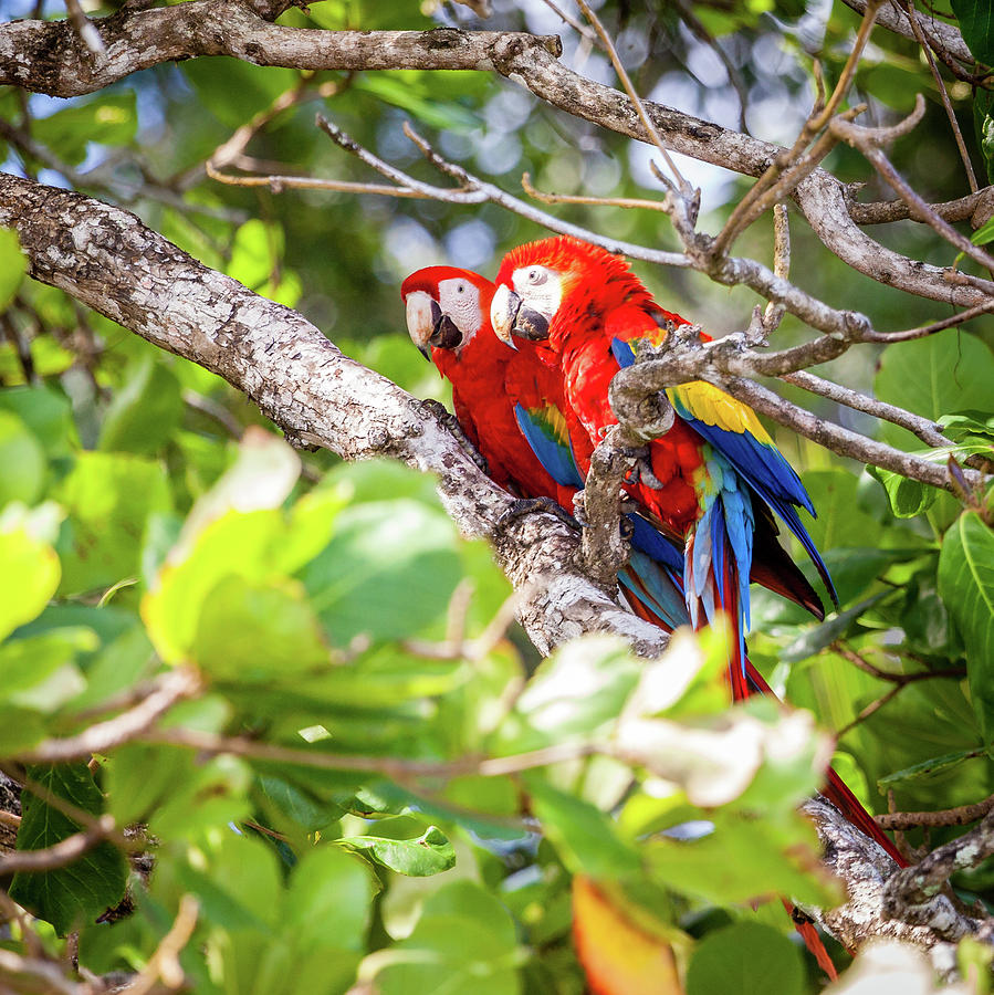 Scarlet Macaws In Costa Rican Forest Photograph