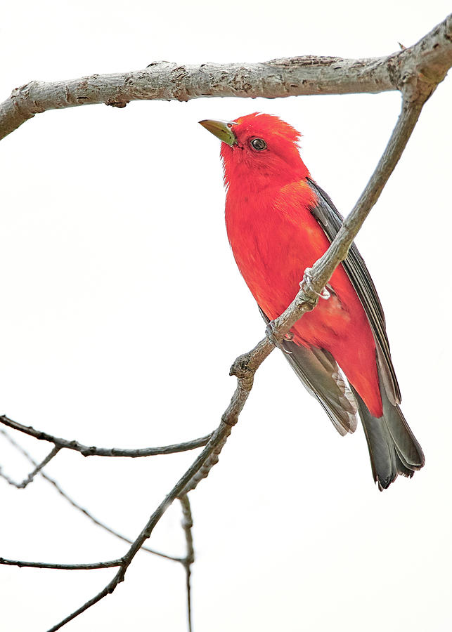 Scarlet Tanager Gives Me The Eye by Jim Hughes