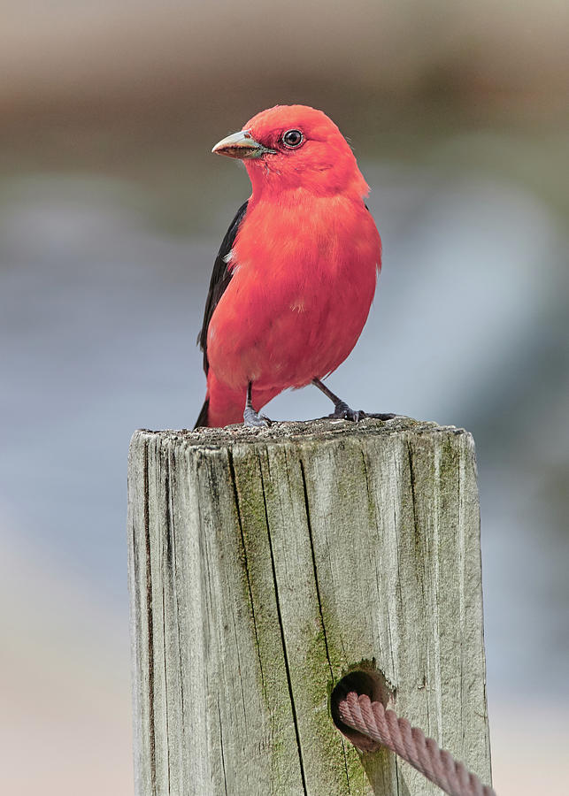 Scarlet Tanager On A Dock by Jim Hughes