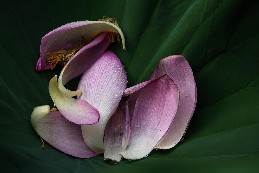 Scattered Lotus Petals Photograph by Masahiro Makino