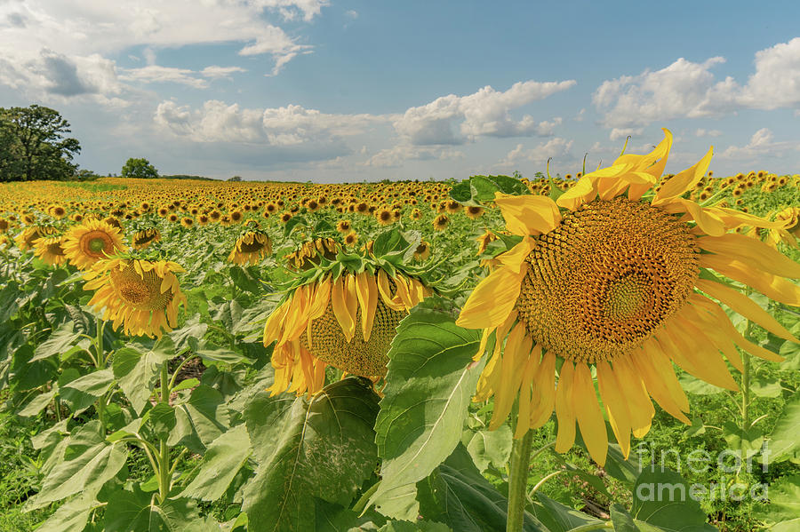 Scenic Sunflowers by Jackie Johnson