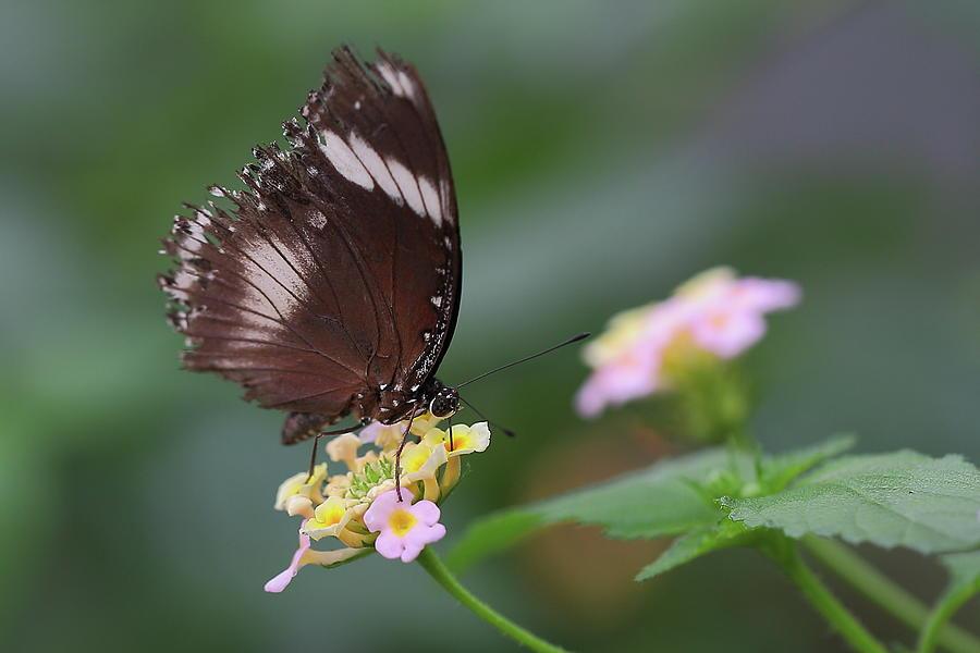 Schmetterling Butterfly Photograph by Copyright By Hellboy2503/jörg David