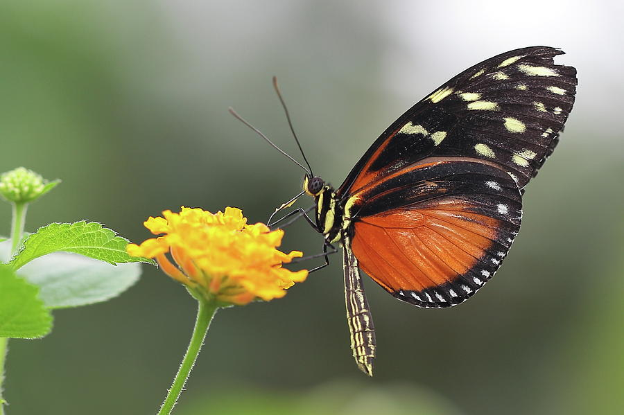 Schmetterling Lepidoptera Photograph by Copyright By Hellboy2503/jörg David