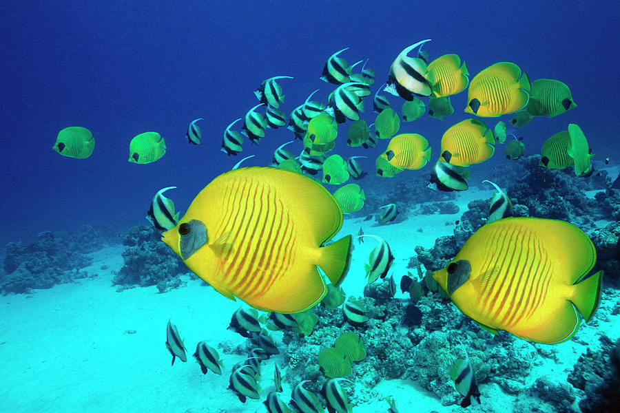 School Of Butterfly Fish Swimming On Photograph by Georgette Douwma