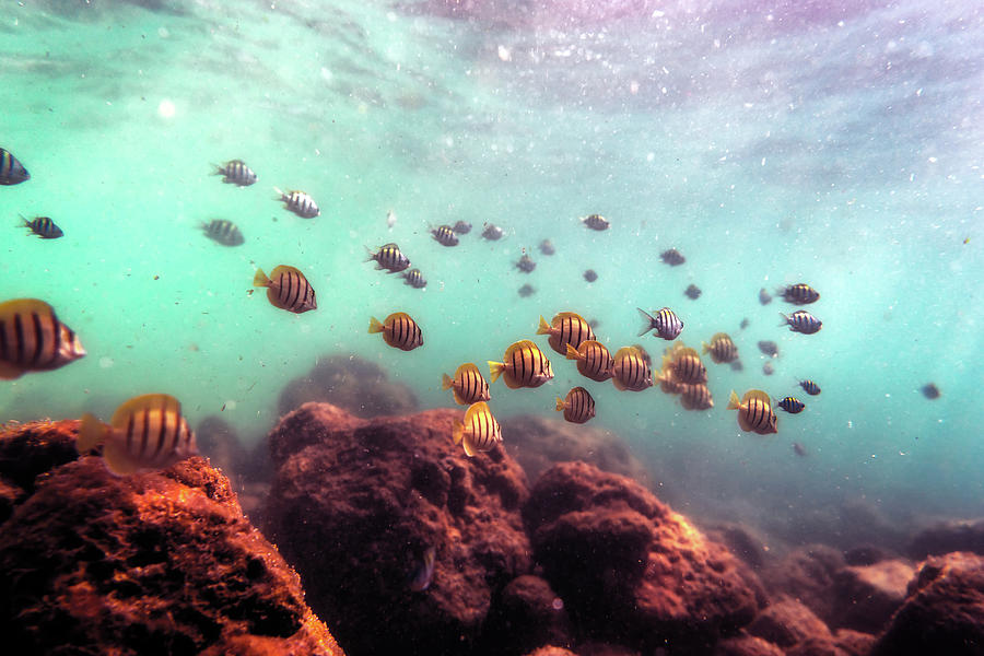 School of Convict Tang Fish by Christopher Johnson