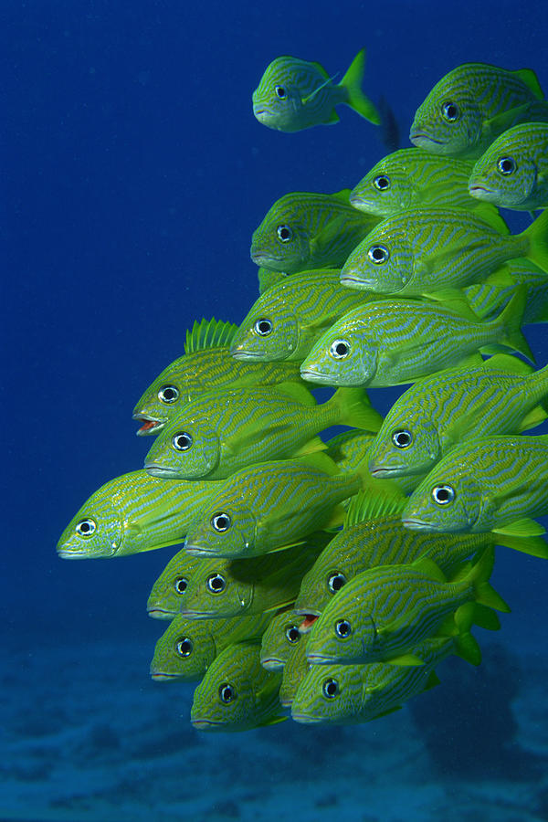 School Of French Bluestriped And Photograph by Comstock