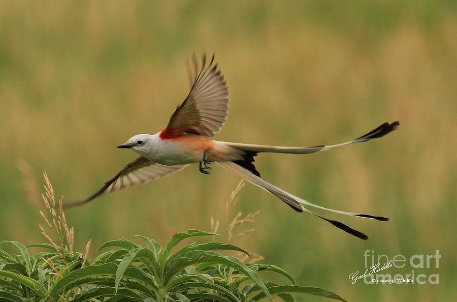 Scissor-tailed Flycatcher Photograph - Scissor-tailed Flycatcher R17 by Gail Huddle