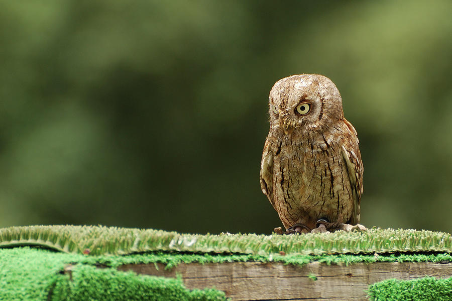 Scops Oowl Photograph by João Pedro Neves