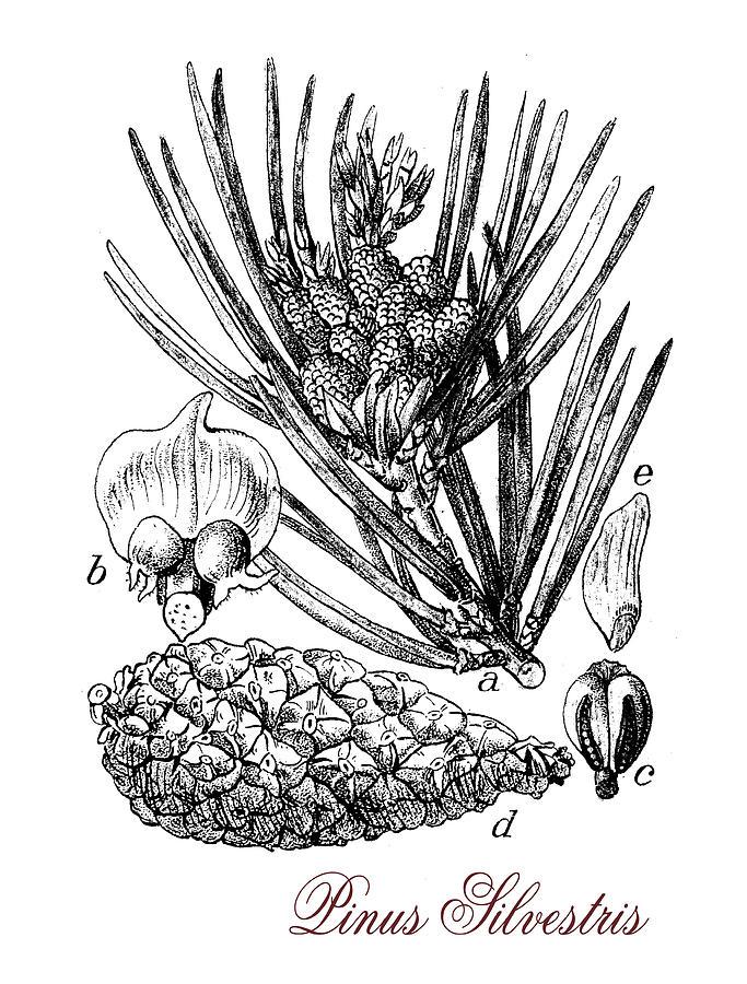 Scots Pine Drawing - Scots Pine Or Pinus Silvestris, Botanical Vintage Engraving by Luisa Vallon Fumi