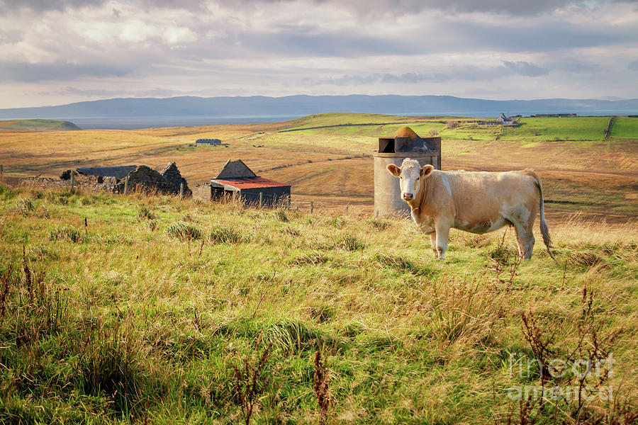 Scottish Cow Photograph