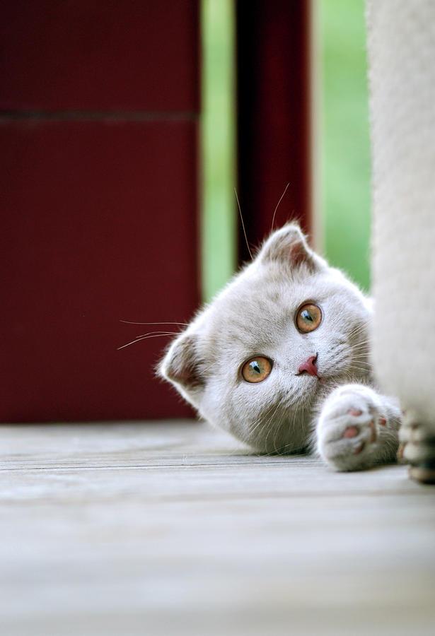 Scottish Fold Kitten On Balcony Photograph by Photos Of Linda Gavin