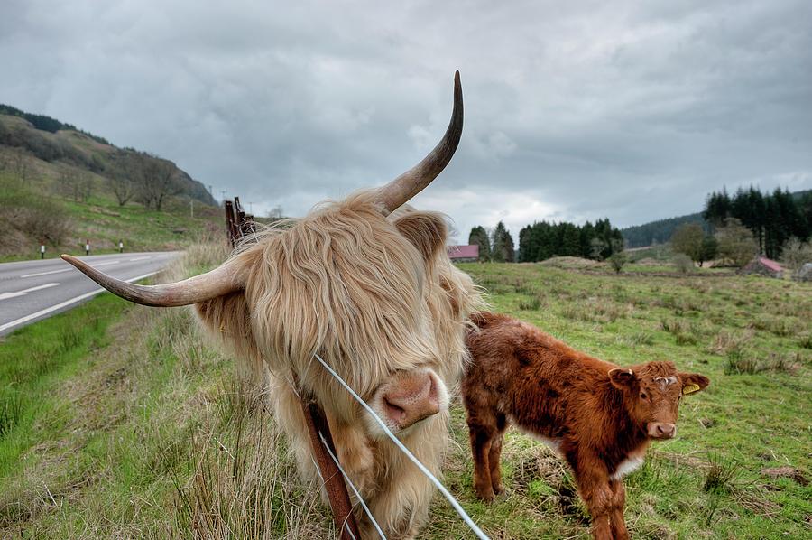 Scottish Highland Cattle Photograph by Dominik Staszowski
