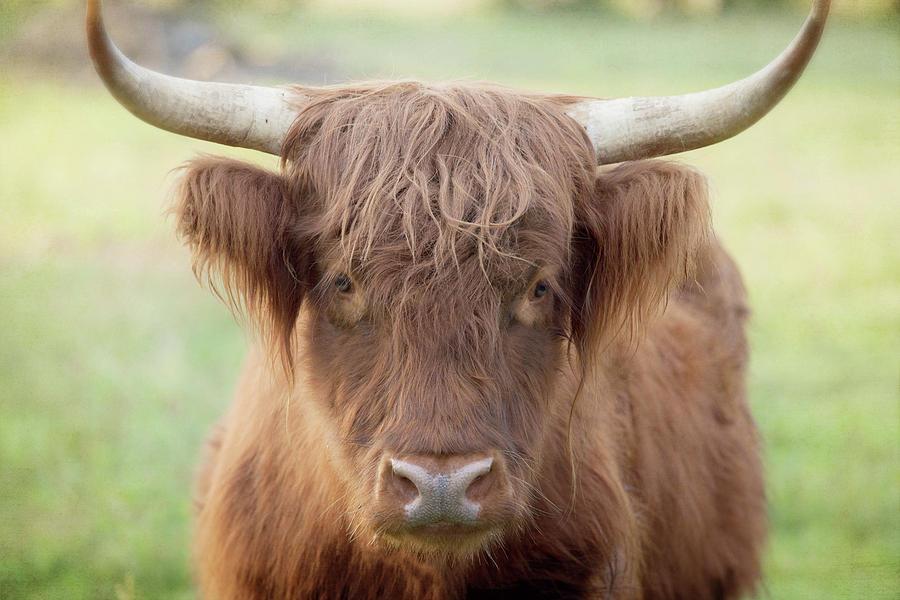 Scottish Highland Cattle Portrait Photograph