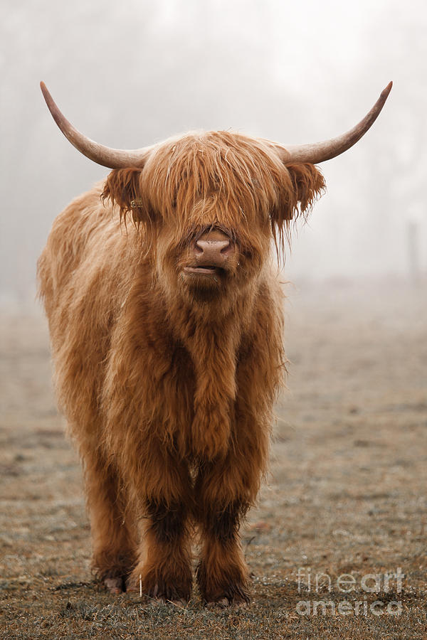 Dirty Photograph - Scottish Highland Cow by Franz Peter Rudolf