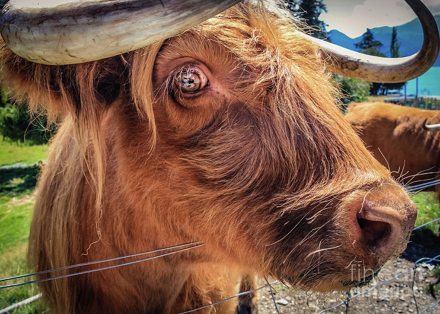 Scottish Highland Cow Portrait by Lyl Dil Creations