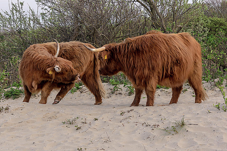 Scottish Highland cows in the Dutch sand dunes by Wolfgang Stocker