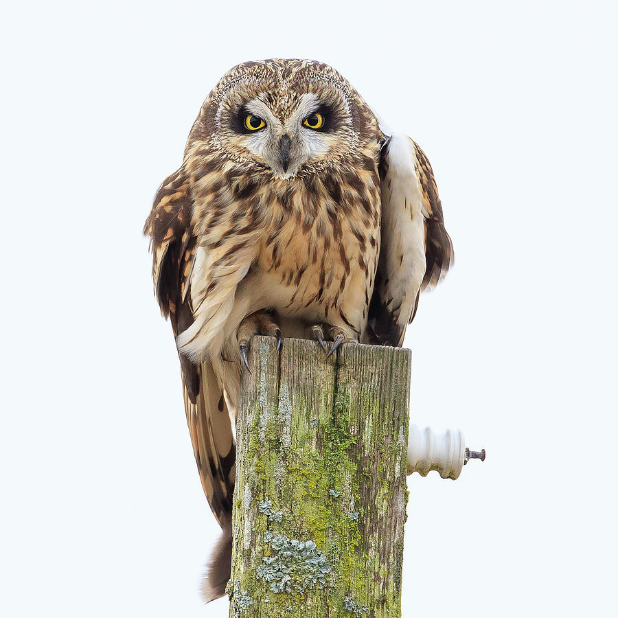 Scowling Owl by Briand Sanderson