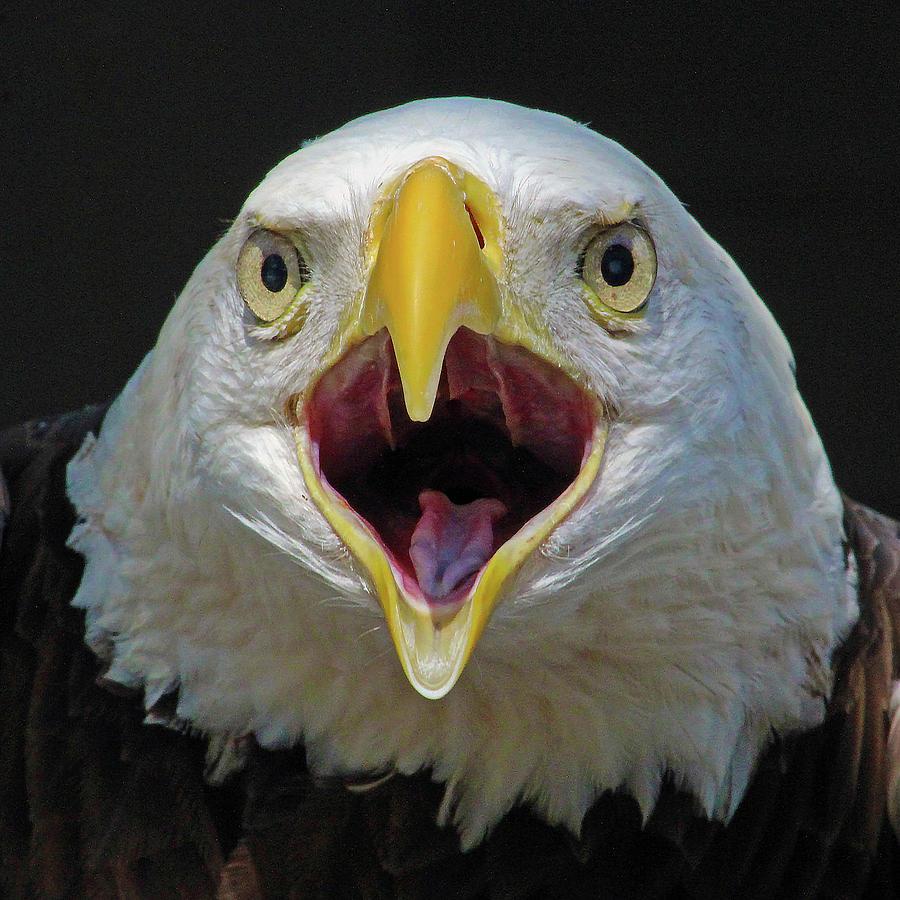 Screaming Eagle by Michael Allard