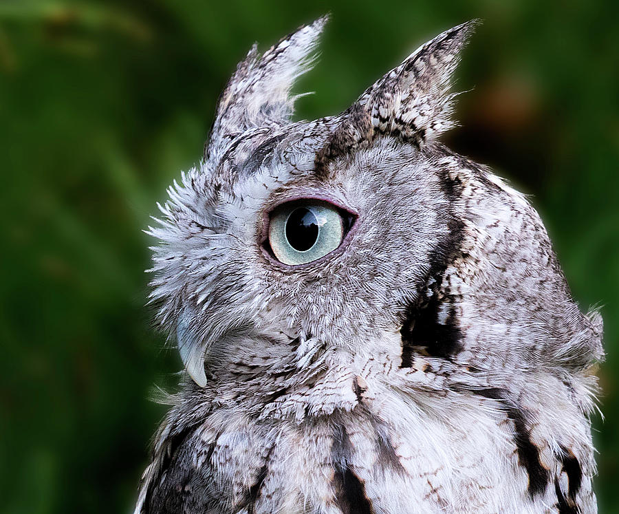 Screech Owl Close Up by Lowell Monke