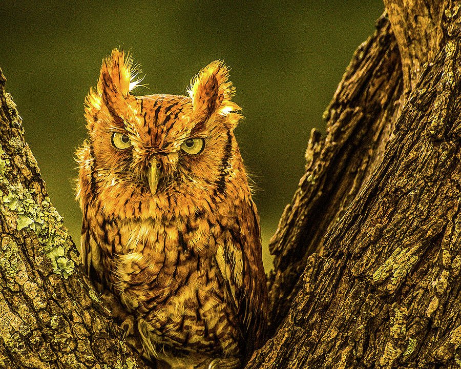 Screech Owl by Peggy Blackwell