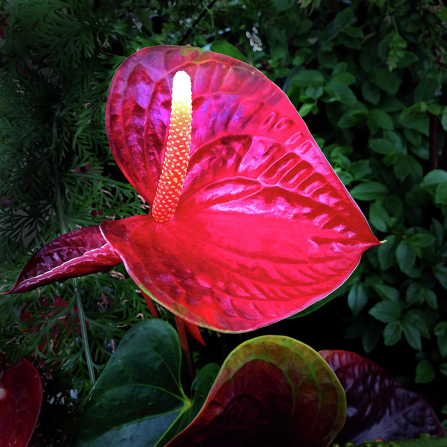 Sculptural Red Anthurium Flower by Nareeta Martin