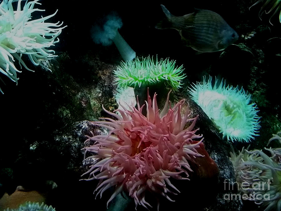 Sea Anemones, National Aquarium by Inscape Art Photography