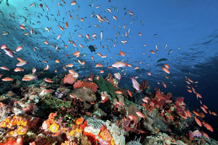 Sea Goldies , Underwater Mountain Batu Photograph by Ifish