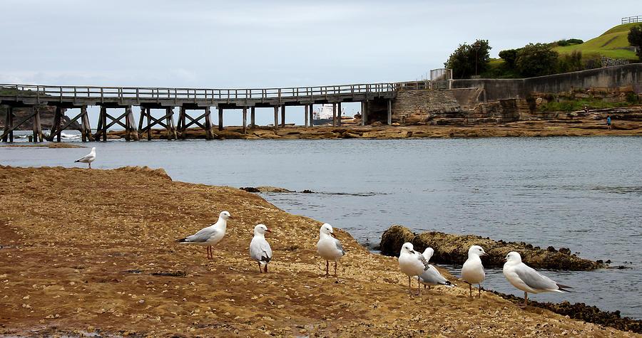 Sea Gulls At La Perouse  Shore  by Miroslava Jurcik