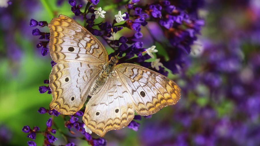 Sea Lavender and White Peacock Butterfly  by Saija Lehtonen