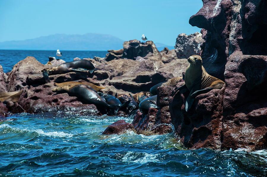 Sea Lion Colony At Isla Espiritu Santo Photograph by Michael Runkel / Robertharding