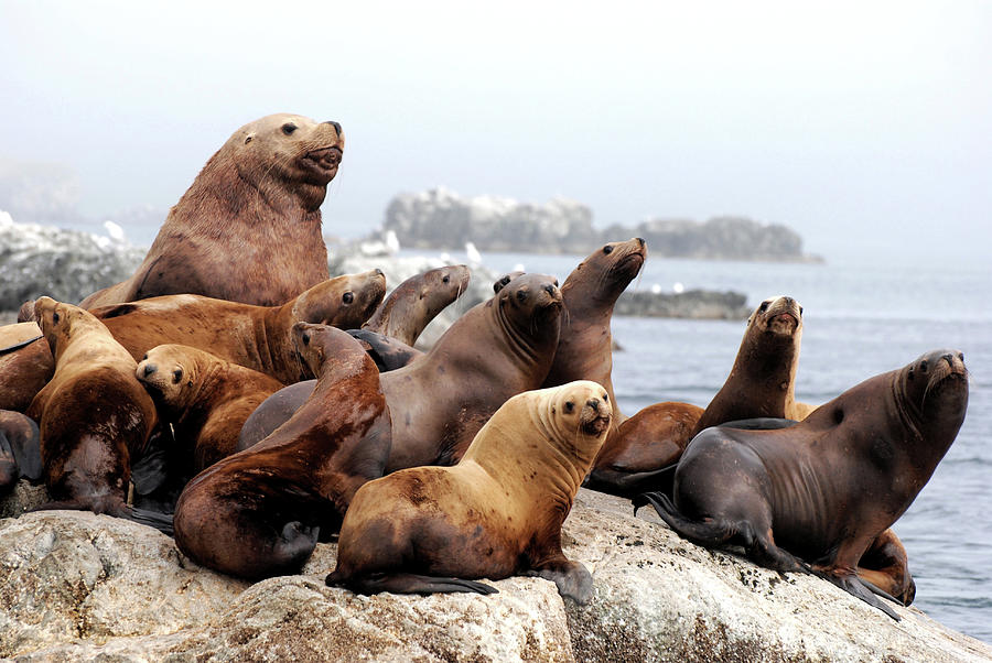 Sea Lion Family Portrait Photograph by Michael Fiddleman, Fiddography.com