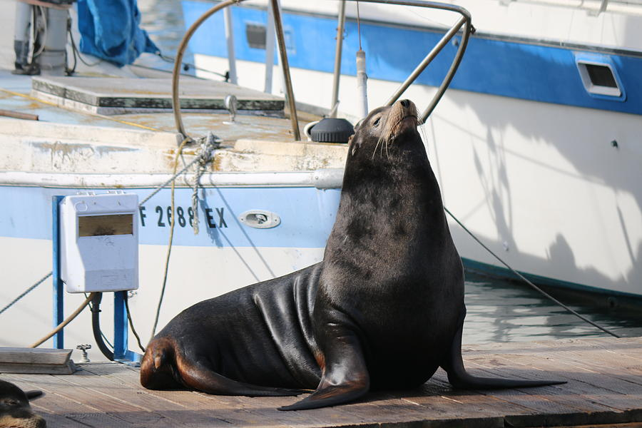Sea Lion on the Dock  by Christy Pooschke
