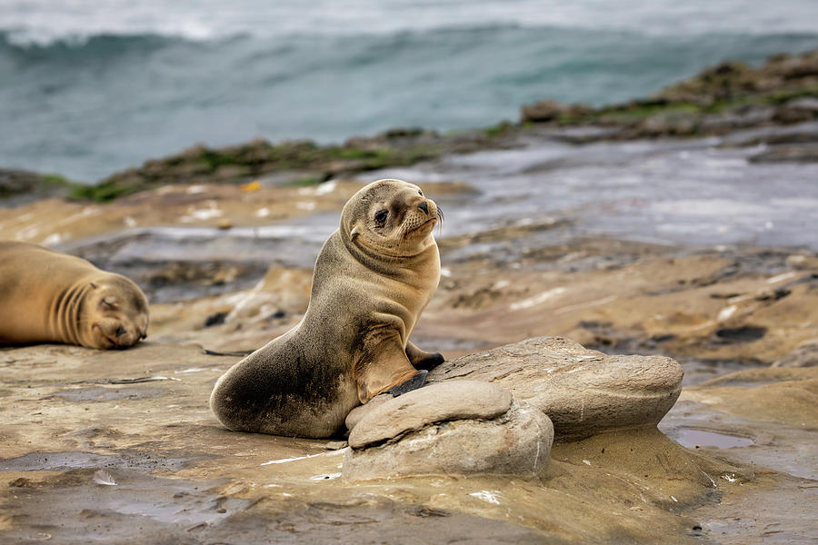 Sea Lions Photograph - Sea Lion Pup by K Pegg