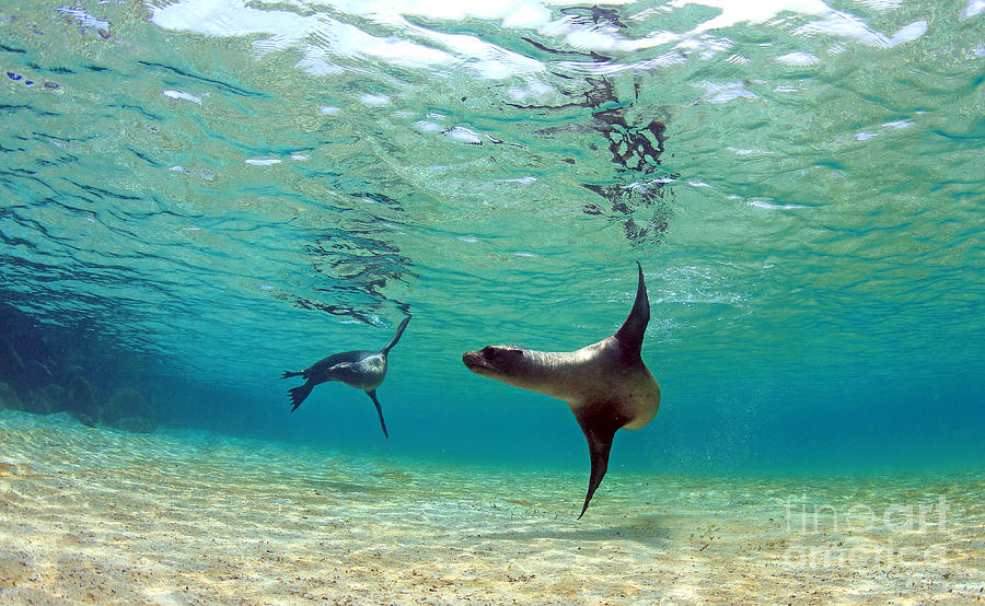 Beauty Photograph - Sea Lion Swimming Underwater In Tidal by Longjourneys