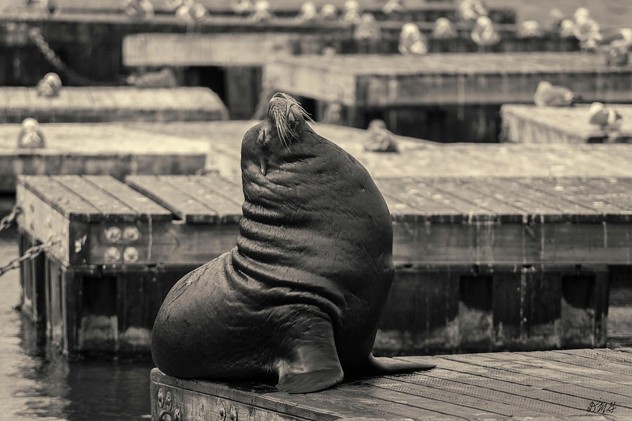 Sea Lion VI Toned by David Gordon