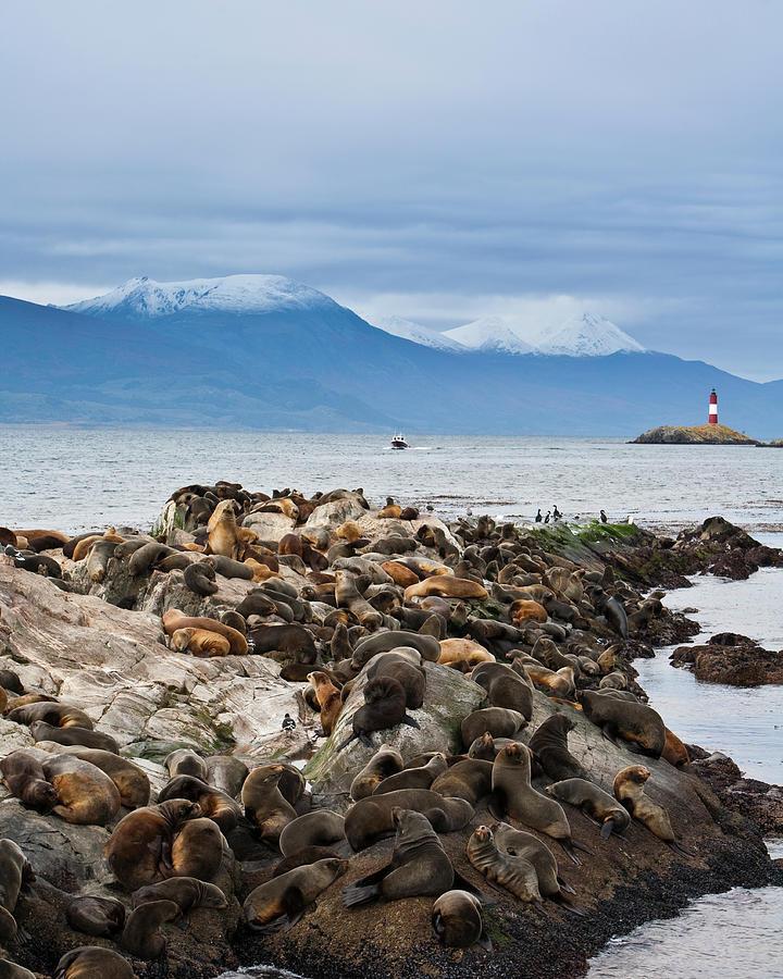 Sea Lions And Light House, Beagle Photograph by Ashok Sinha