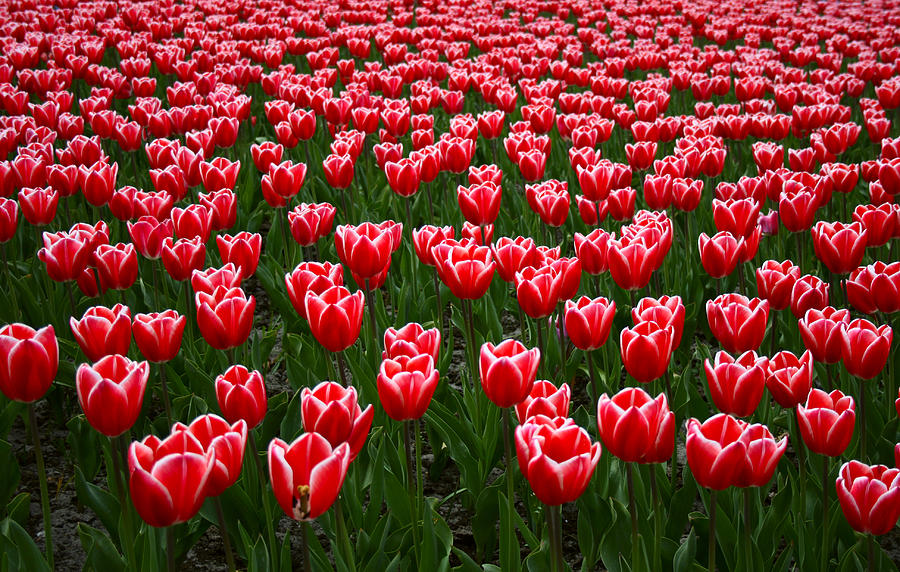 Sea Of Tulips Photograph by Copyright © Sunil Chaturvedi. All Rights Reserved.