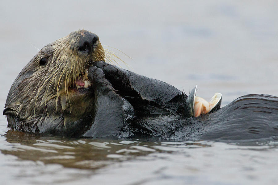 Sea Otter Feeding, Elkhorn Slough Photograph by Sebastian Kennerknecht