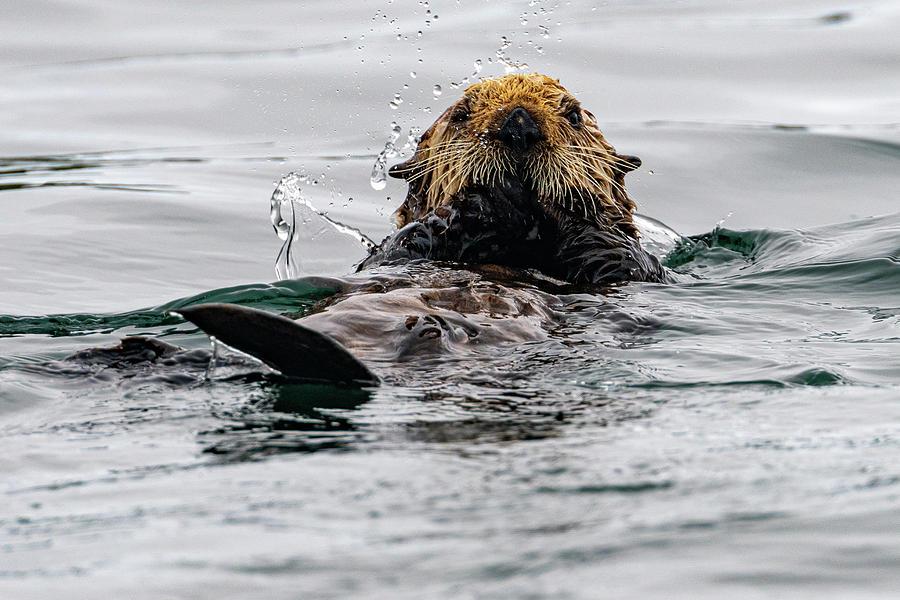 Sea Otter in Kodiak Harbor by Mark Hunter