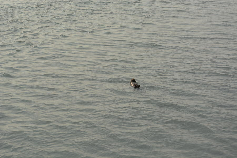 Otter Photograph - Sea Otter by Joe Smiga
