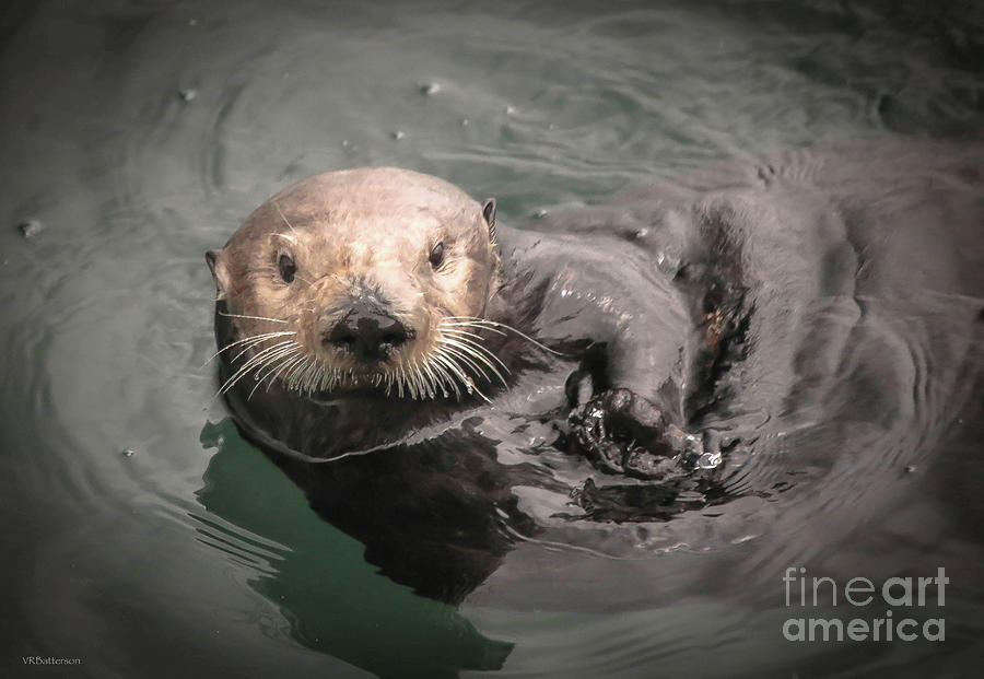 Sea Otter Monterey Bay by Veronica Batterson