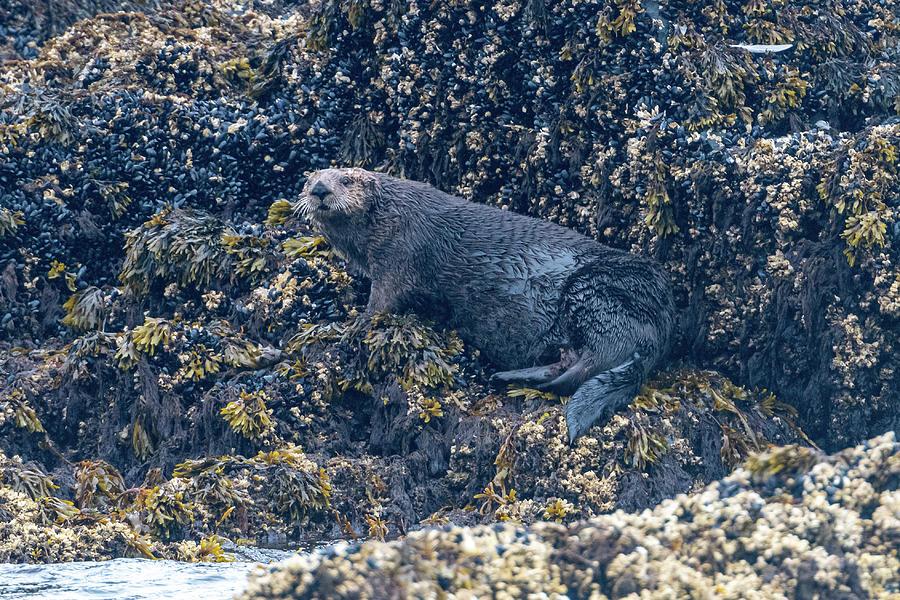 Sea Otter on Rocks in Kodiak Harbor by Mark Hunter