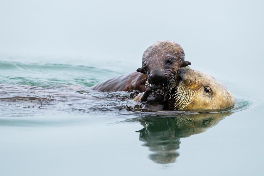 Sea Otter Pup Grabbing Food From Mother Photograph by Sebastian Kennerknecht